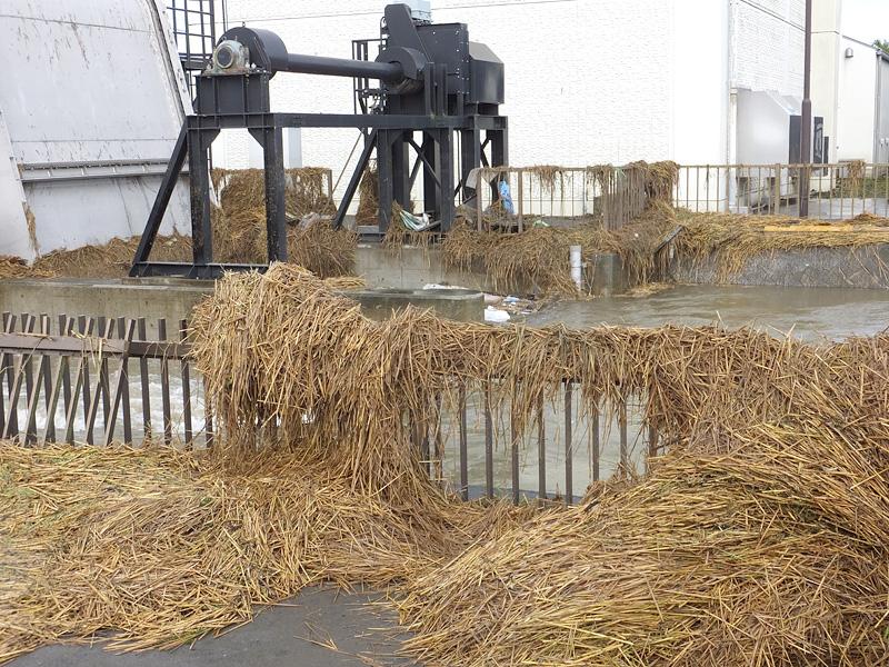 大量に流れついた稲わら